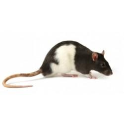 Rats vivants 4-10 G