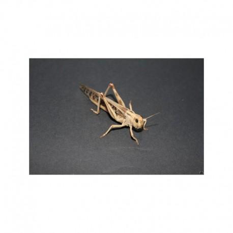 Locusta migratoria (Carton)