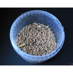 Charançon du blé